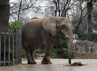 20090226181442-elefanta-susi-zoo-barcelona.jpg